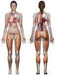 Anatomicalmodel